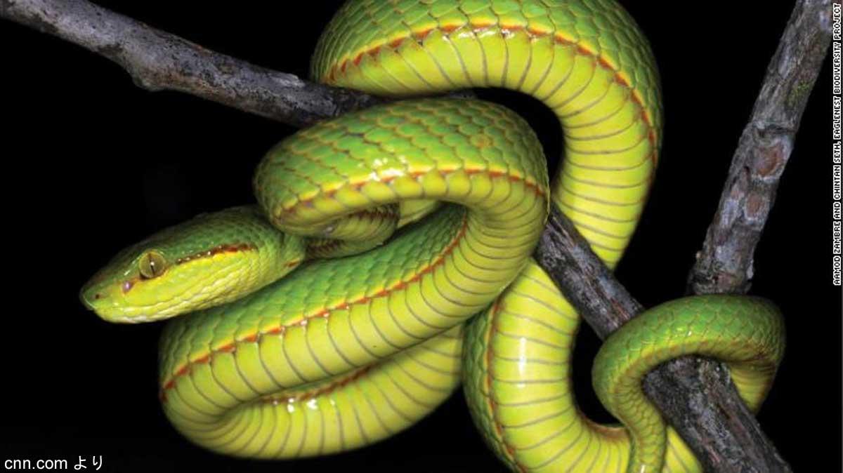 新種のヘビ「Trimeresurus salazar」
