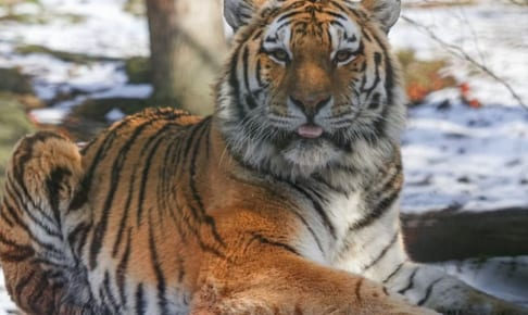 Bronx Zooのトラ