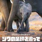 『ディズニーネイチャー/ゾウの足跡を追って』 ディズニープラスで配信中 © 2020 Disney