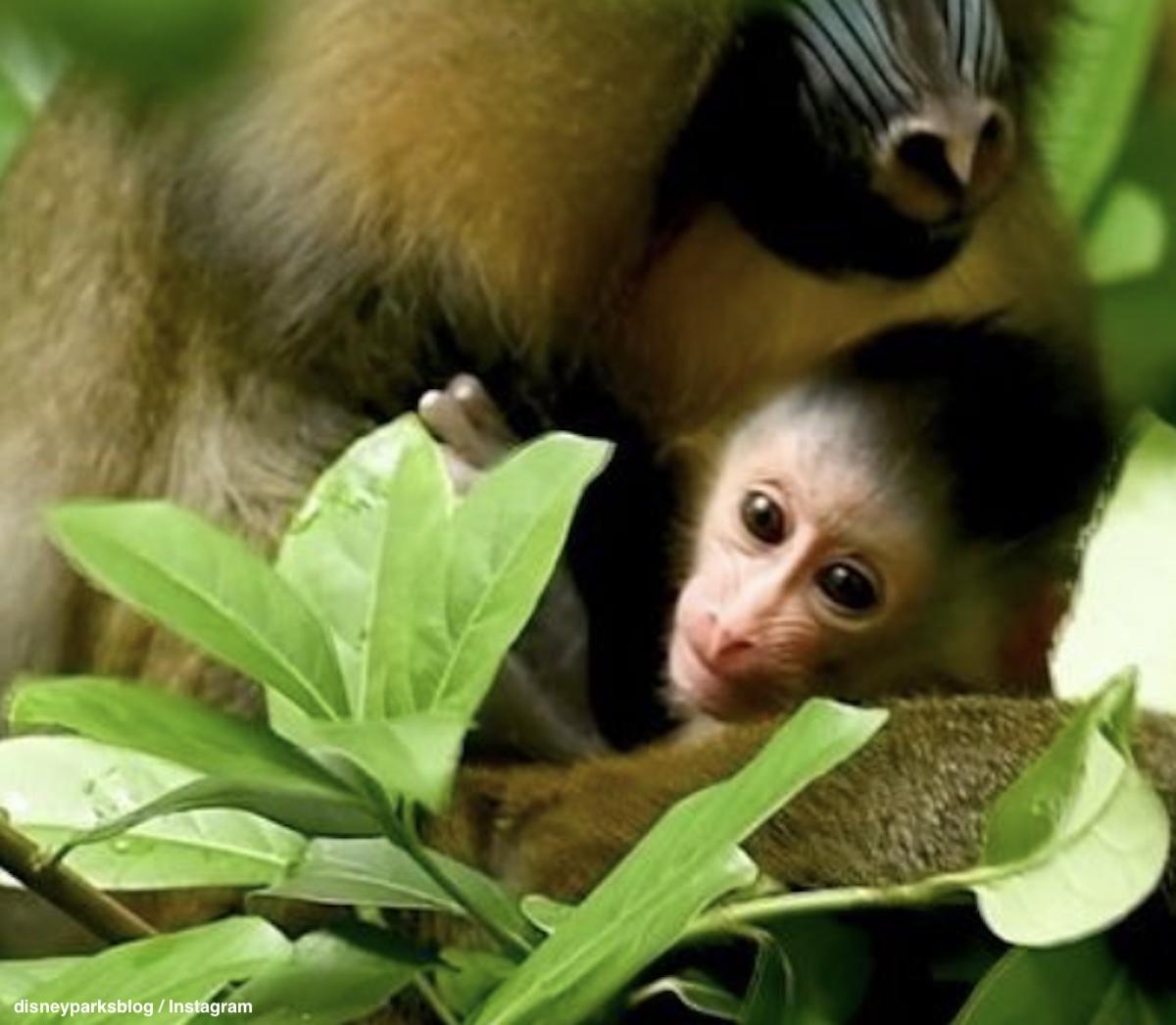 マンドリルの赤ちゃん