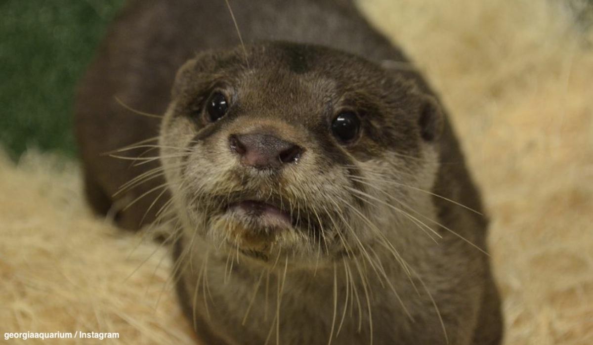 米ジョージア水族館のコツメカワウソ