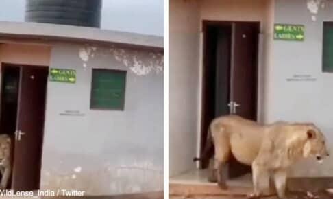 トイレから出てきたライオン